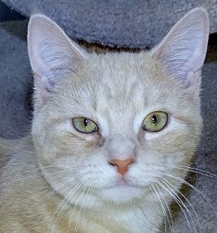 British Shorthair Cat for adoption in Mt. Vernon, New York - Tagalong