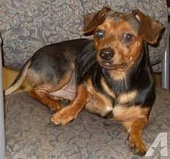 Dachshund/Chihuahua Mix Dog for adoption in Corona, California - Cowboy
