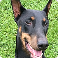 Adopt A Pet :: Yumi - Arlington, VA