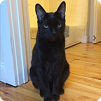 Adopt A Pet :: Siddhartha (COURTESY POST) - Baltimore, MD