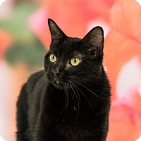Domestic Shorthair Cat for adoption in Houston, Texas - Emmy