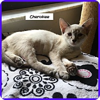 Siamese Cat for adoption in Miami, Florida - Cherokee