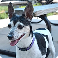 Jack Russell Terrier Mix Dog for adoption in Pontiac, Michigan - Shirley