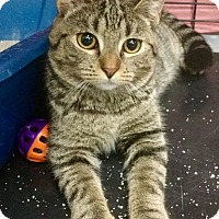 Domestic Shorthair Cat for adoption in Webster, Massachusetts - Prim