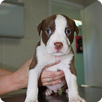 Adopt A Pet :: A Rose Puppy 6 - Pompano Beach, FL
