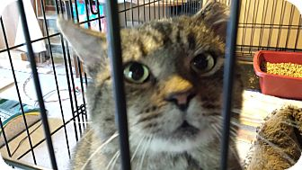 Domestic Shorthair Cat for adoption in Jeannette, Pennsylvania - Elby (Big Boy)