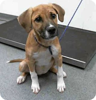 Labrador Retriever Mix Dog for adoption in Maple Grove, Minnesota - Kahyla