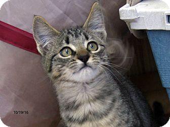 Domestic Shorthair Kitten for adoption in Republic, Washington - Grumpy