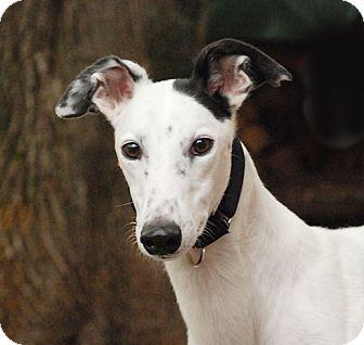 Greyhound Dog for adoption in Ware, Massachusetts - Flower