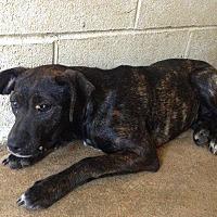 Adopt A Pet :: 6-23-16 Litter #2 - Magnolia, AR
