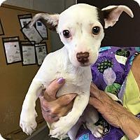 Adopt A Pet :: Dolly - Visalia, CA
