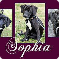 Adopt A Pet :: Sophia - Tower City, PA