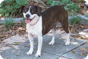 Boston Terrier/Beagle Mix Dog for adoption in Minneola, Florida - Rosie