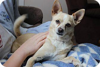 Chihuahua/Pomeranian Mix Dog for adoption in Alliance, Nebraska - Baby
