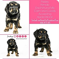 Adopt A Pet :: Paisley - Irving, TX