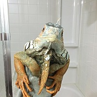 Iguana for adoption in St. Paul, Minnesota - SmartyPants