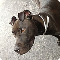 Adopt A Pet :: Chanel - Manhattan, NY