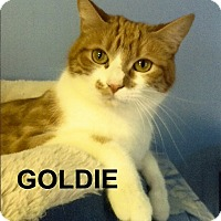 Adopt A Pet :: Goldie - Medway, MA