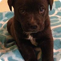 Adopt A Pet :: Trigger - Trenton, NJ