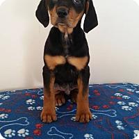 Adopt A Pet :: Yaegar - Westminster, CO