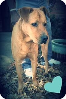 Labrador Retriever Mix Dog for adoption in Groton, Massachusetts - Dudy Noble