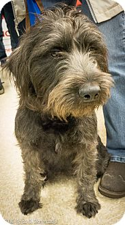 Standard Schnauzer Mix Dog for adoption in Loudonville, New York - Prissy