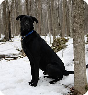 Shepherd (Unknown Type)/Labrador Retriever Mix Dog for adoption in Monteregie, Quebec - Doug