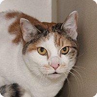 Domestic Shorthair Cat for adoption in Grinnell, Iowa - Neko