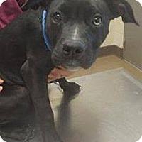 Adopt A Pet :: Bowie - Las Vegas, NV