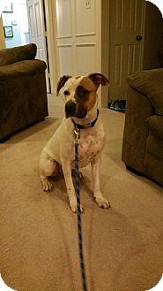 Boxer Mix Dog for adoption in Dallas, Texas - zzELi