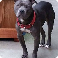 American Pit Bull Terrier/American Staffordshire Terrier Mix Dog for adoption in Baton Rouge, Louisiana - Joe