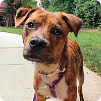 Adopt A Pet :: Tigra - Arlington, VA