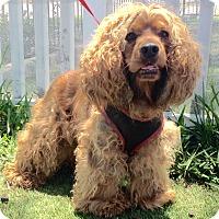 Adopt A Pet :: Coco (A) - Santa Ana, CA