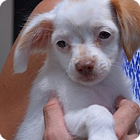 Adopt A Pet :: Crystal - Weeki Wachee, FL