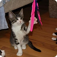 Domestic Shorthair Kitten for adoption in Trenton, New Jersey - Placido (and Jose)