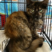 Domestic Shorthair Kitten for adoption in Concord, North Carolina - Kay