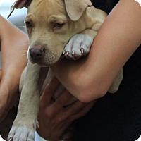 Adopt A Pet :: Macy - Morganville, NJ