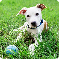 Pit Bull Terrier/Labrador Retriever Mix Puppy for adoption in Monroe, North Carolina - Stanley