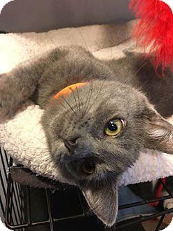 Domestic Shorthair Kitten for adoption in Hanna City, Illinois - Jack Tripper