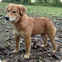 Golden Retriever/Chow Chow Mix Puppy for adoption in Capon Bridge, West Virginia - Jessie