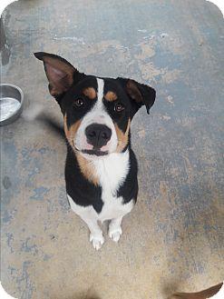 Shepherd (Unknown Type) Mix Dog for adoption in san antonio, Texas - selma