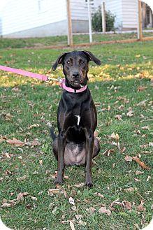 Labrador Retriever Mix Dog for adoption in New Oxford, Pennsylvania - Zadie