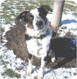 Border Collie/Australian Cattle Dog Mix Dog for adoption in Tiffin, Ohio - Jaxx--Courtesy Posting