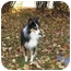 Photo 4 - Sheltie, Shetland Sheepdog/Sheltie, Shetland Sheepdog Mix Dog for adoption in Sheboygan, Wisconsin - Patches