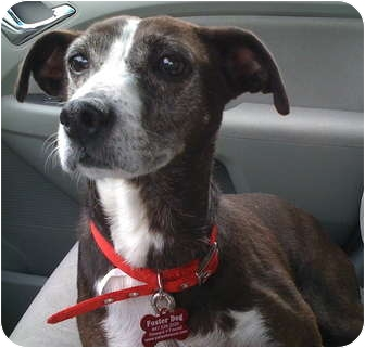 greyhound terrier mix haley adopted dog palatine il italian greyhound 4141