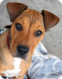 Gabby | Adopted Puppy | Los Angeles, CA | Rhodesian ...