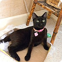 Adopt A Pet :: BLACKY - Bonita Springs, FL