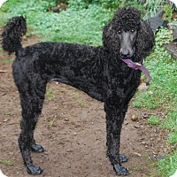 Adopt A Pet :: Contessa 'Tess' - Pending - Gig Harbor, WA