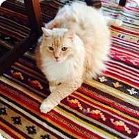 Adopt A Pet :: Puffy - New York, NY