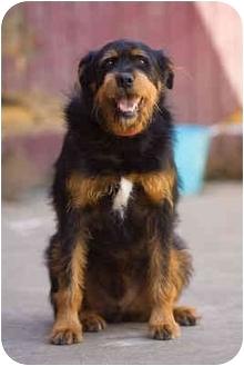 angus adopted dog portland or rottweiler irish